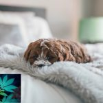 effets symptômes cannabis chien chat animaux