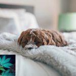 effets symptômes cannabis chien chat animaux